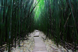 Bamboo Forest, Maui, HI, USA